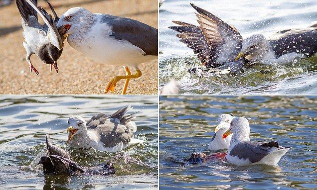 Чайка — убийца голубя