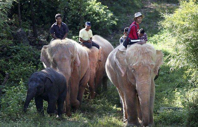 Чернокожий слоненок и семья альбиносов