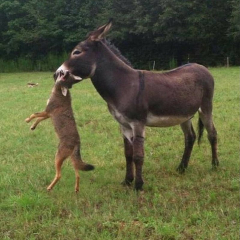 Фермер купил осла, для защититы домашнего скота