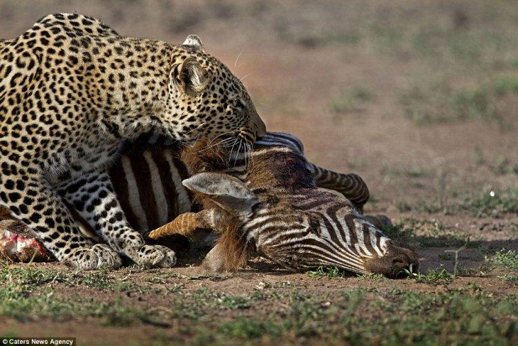 Гиена попыталась отнять добычу у леопарда