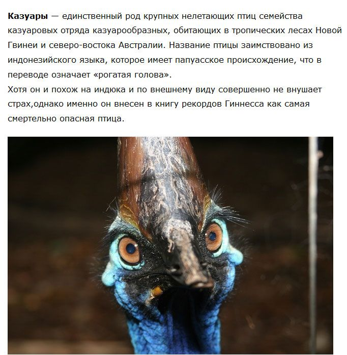 Казуар — большая и опасная птица