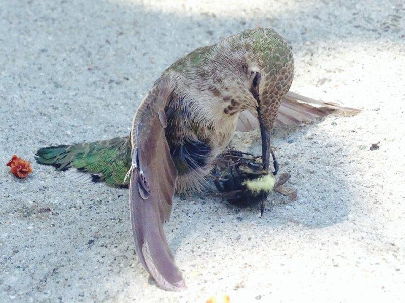 Лобовое столкновение колибри со шмелем
