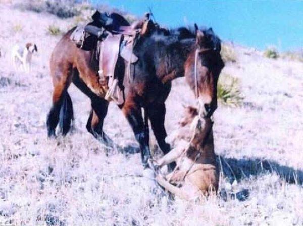 Схватка пумы и мула — у хищника не было шансов