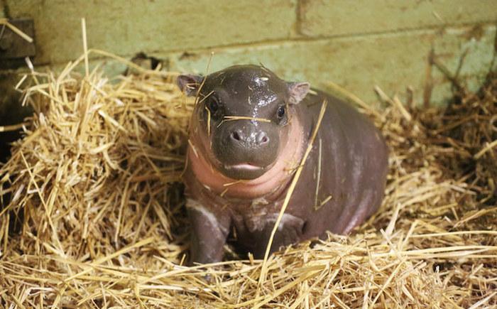 Новорожденный бегемотик