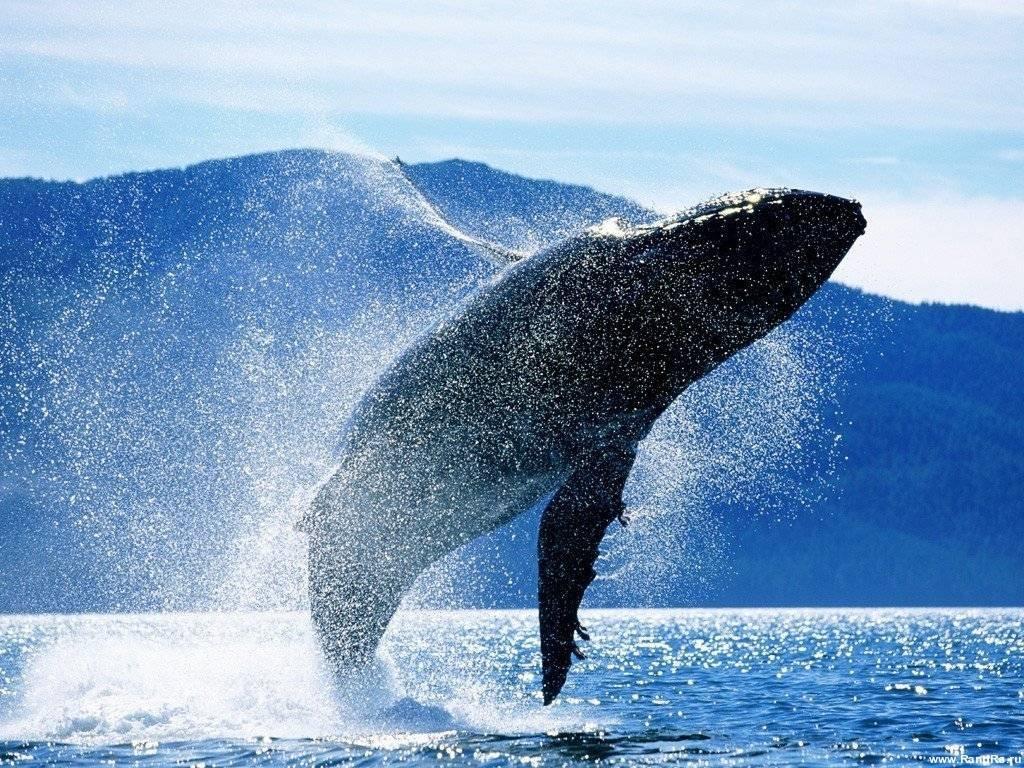 Синий кит — самое большое современное животное