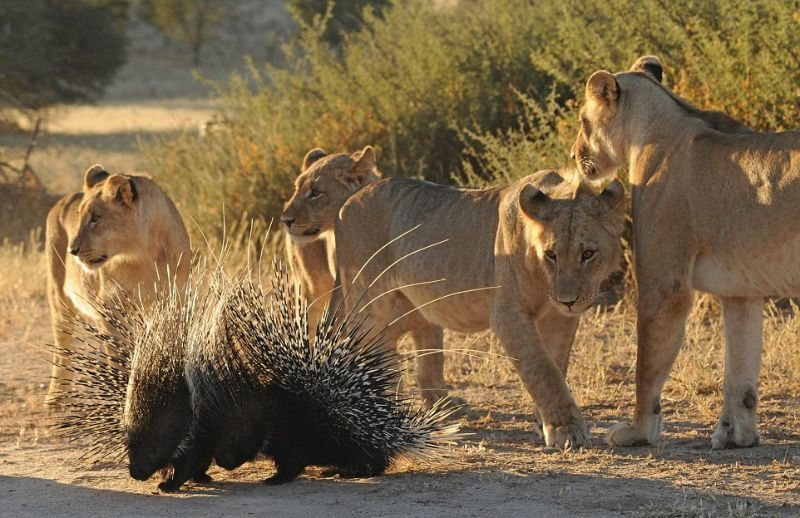 Острые иголки дикобраза не мешают львам