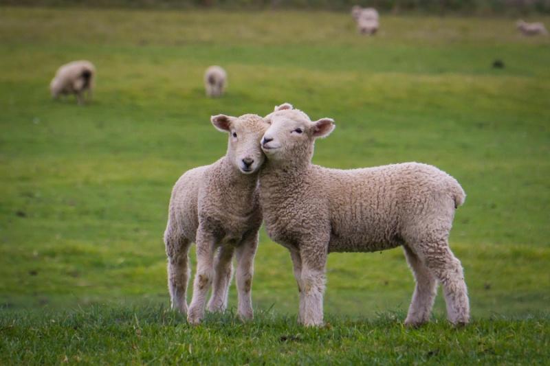 Забавные и очаровательные фотографии овец