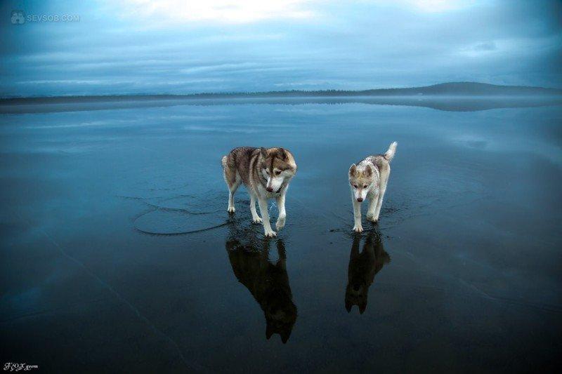 Сибирские хаски на замерзшем озере