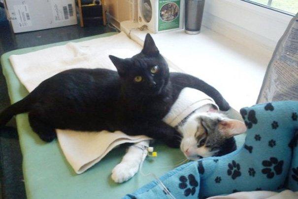 Кот Радеменес помогает животным выздоравливать