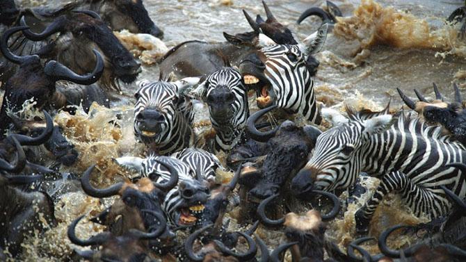 Сражение зебр против тысяч антилоп гну