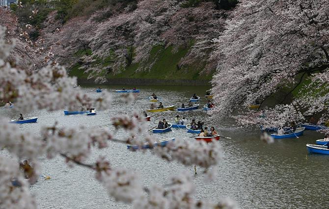 Японская традиция любования цветущей сакурой