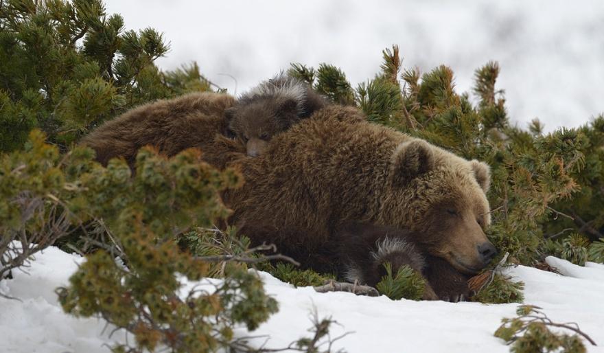 Медвежата с матерью в естественных условиях