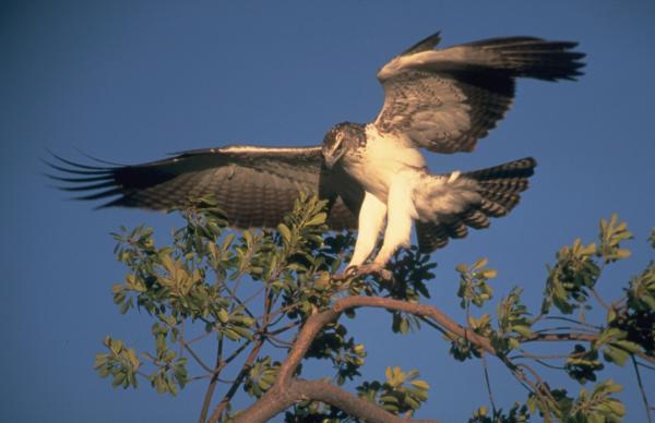 Самые агрессивные хищные птицы