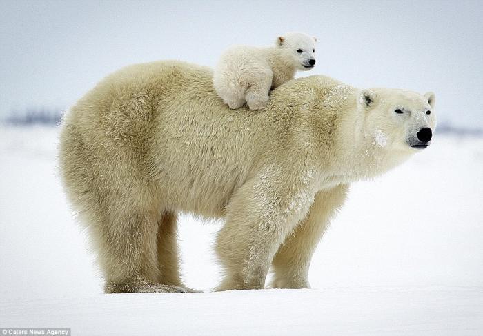 Белые медвежата с мамой