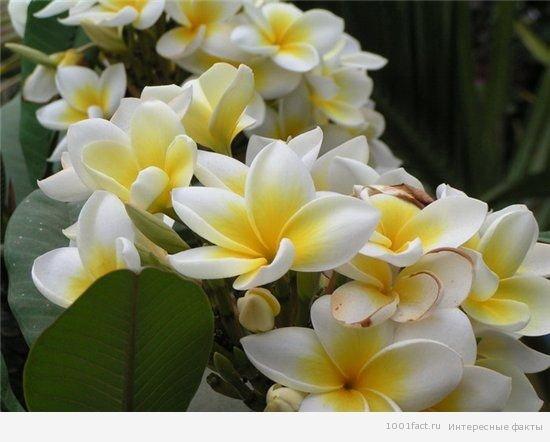 Интересные факты о ванили