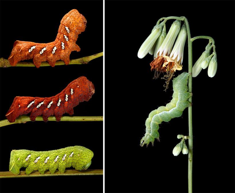 Очаровательные гусеницы