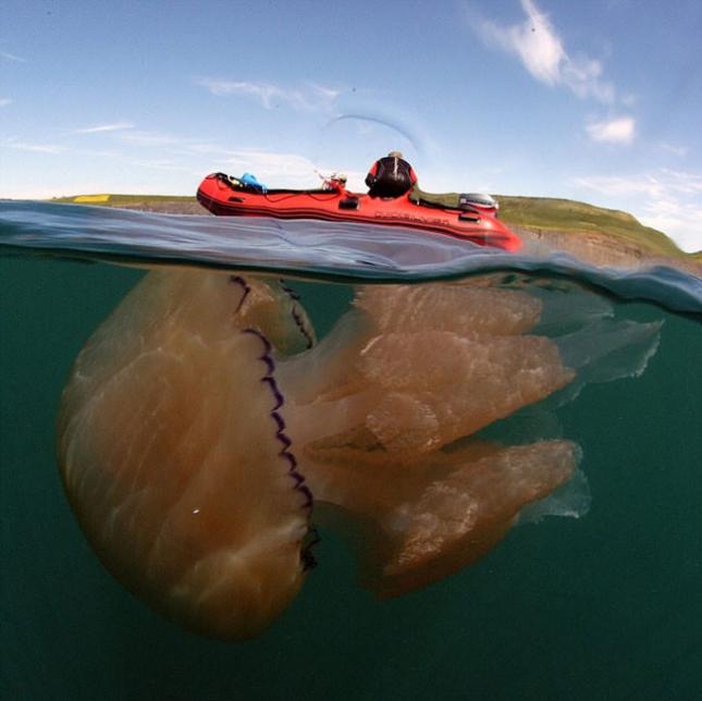 Самая большая медуза в Британии