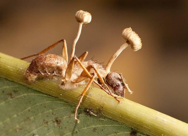Грибы, которые превращают насекомых в зомби
