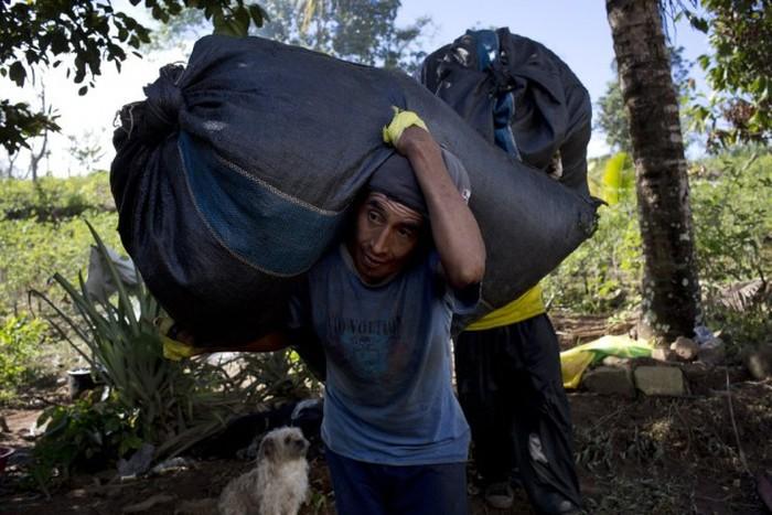 Как жители Перу выращивают коку