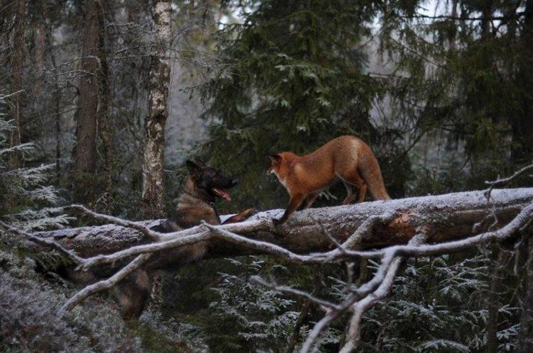 Необычная дружба между лисой и собакой
