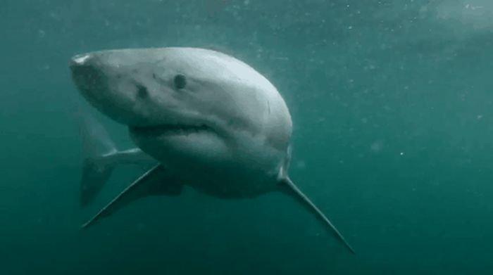 Жуткие гифки с акулами