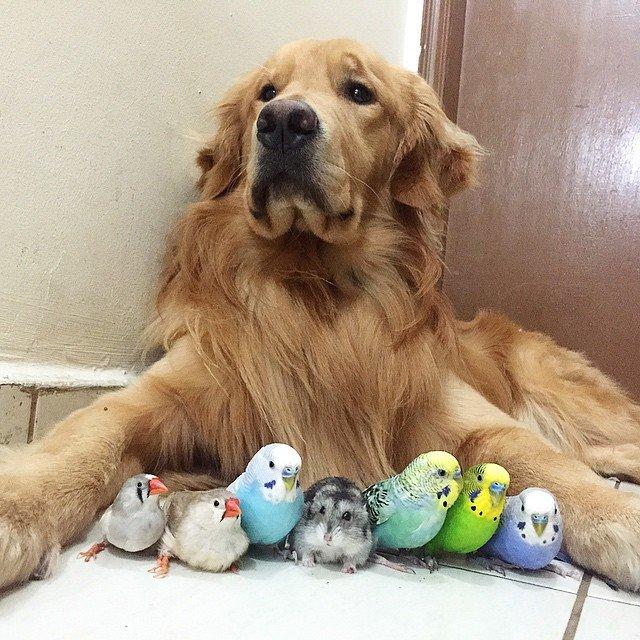 Золотистый ретривер Боб, 8 птиц и хомячок