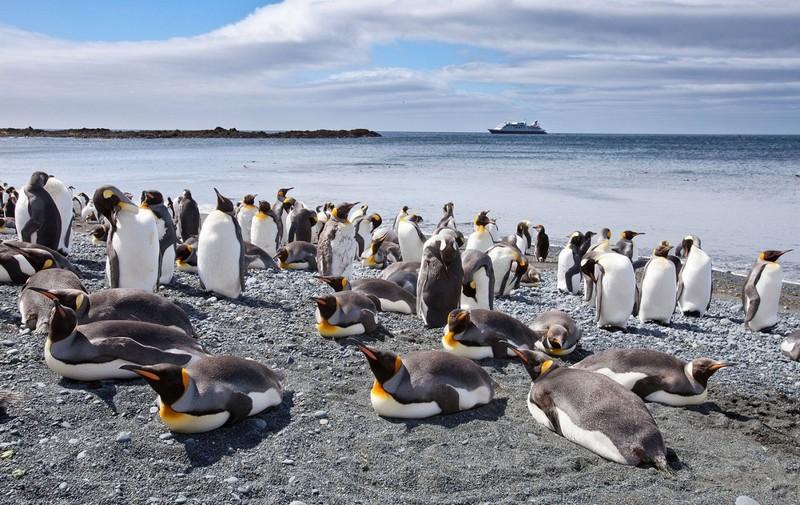 Пингвины на австралийском зелёном острове Маккуори