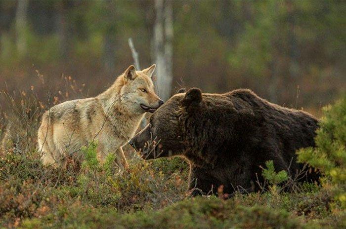 Удивительная дружба медведя и волчицы