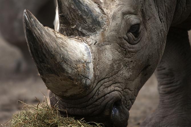 Красота носорогов на фотографиях