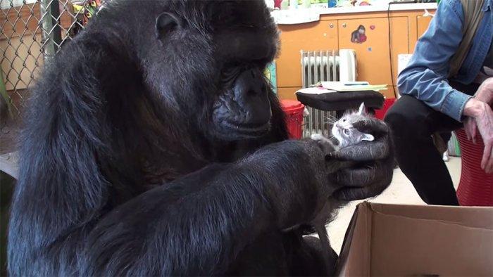 Горилла по кличке Коко будет воспитывать котят