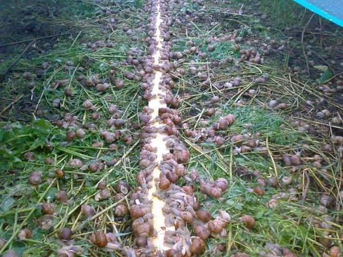 Как в Европе выращивают виноградных улиток
