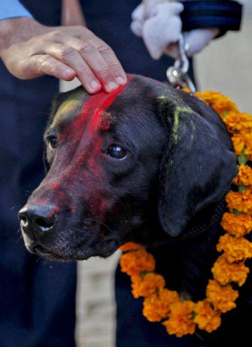 Кукур Тихар — непальский праздник почитания собак