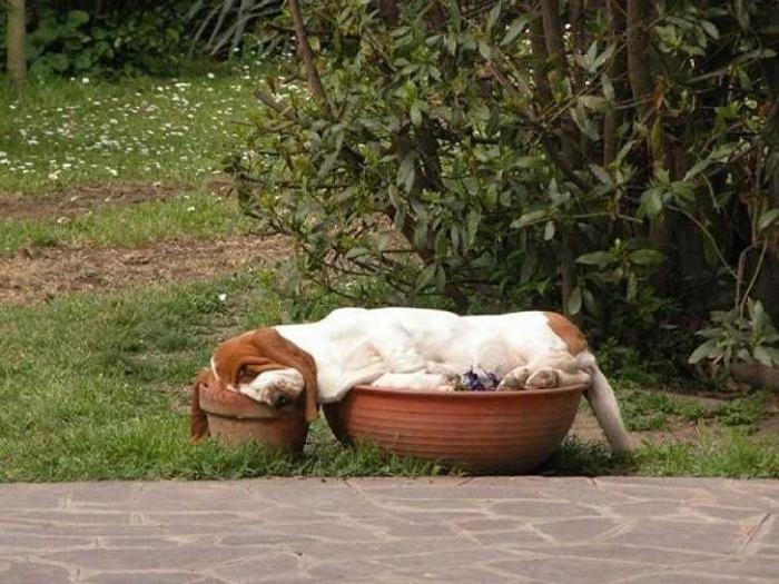 Собаки спят где угодно и в самых невообразимых позах