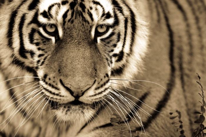 Фотографии больших кошек от Goran Anastasovski