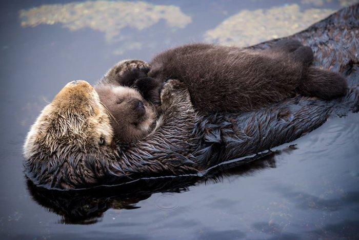 Новорожденный детеныш выдры и его мать во время дневного отдыха