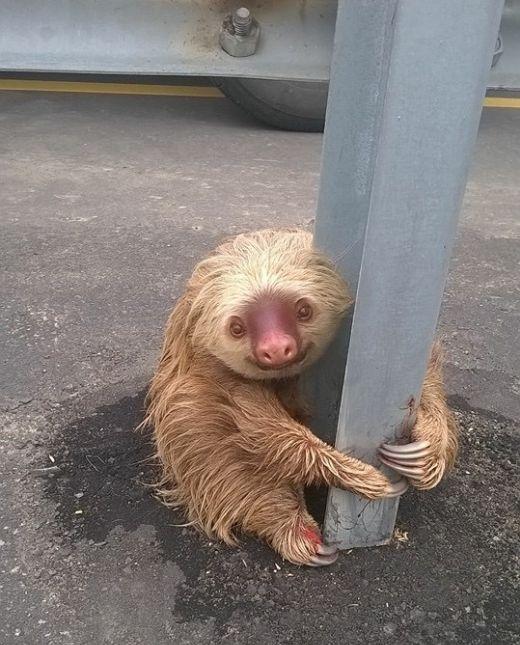 Спасение маленького ленивца