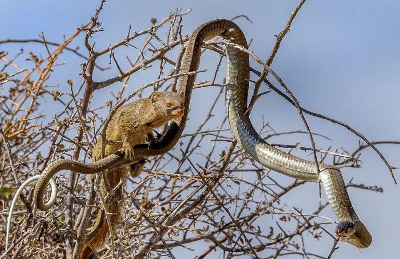 Ядовитая змея на обед у мангуста