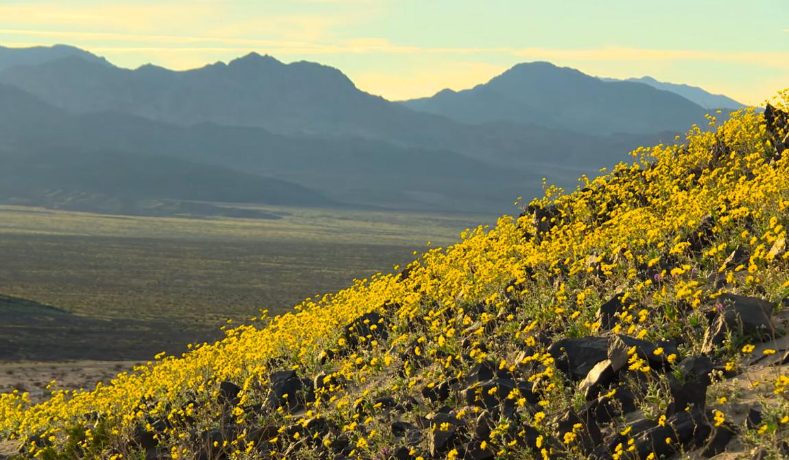 Зацвела Долина Смерти на юге Калифорнии