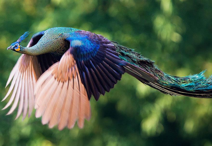 Как выглядит летающий павлин
