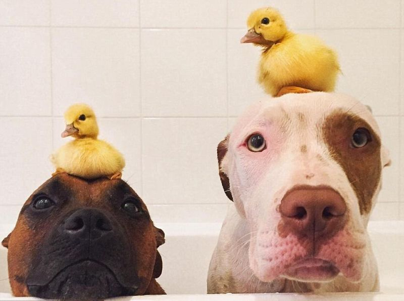 Собаки подружились с утятами