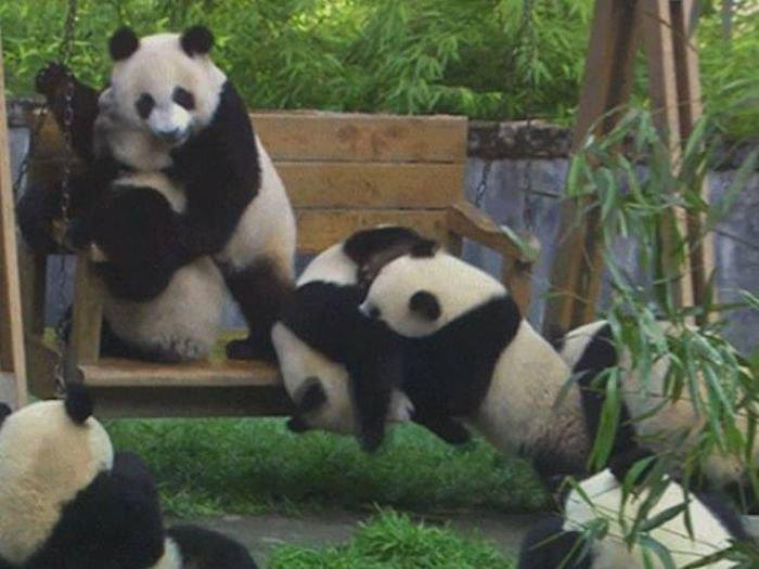 Забавные и неуклюжие панды в гифках