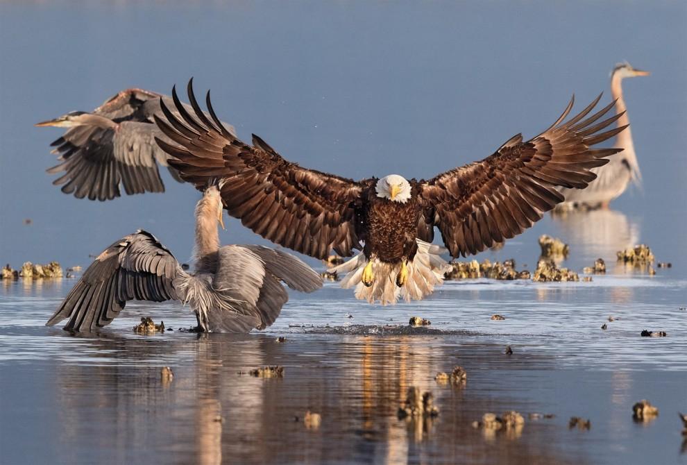 Победители орнитологического фотоконкурса Audubon Photography Awards 2016
