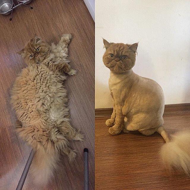 18 подстриженных котов, которые явно недовольны своей новой прической