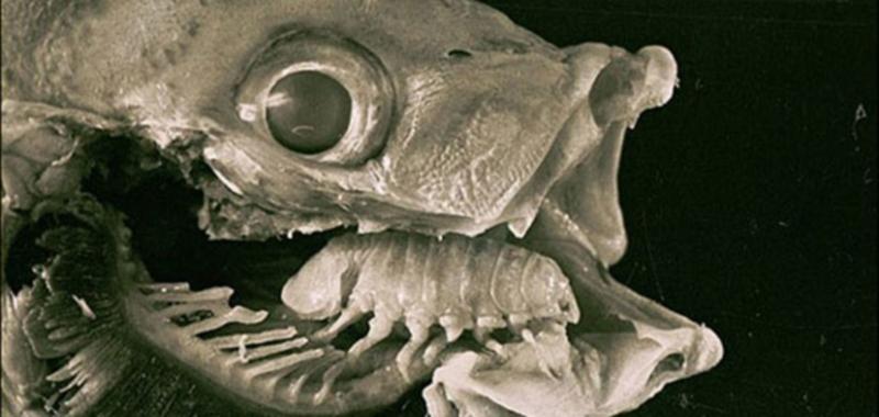 Мокрица, пожирающая язык рыб