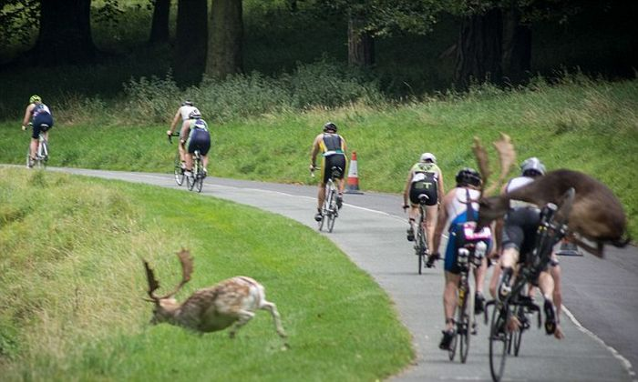В Ирландии олень сбил с велосипеда участника триатлона