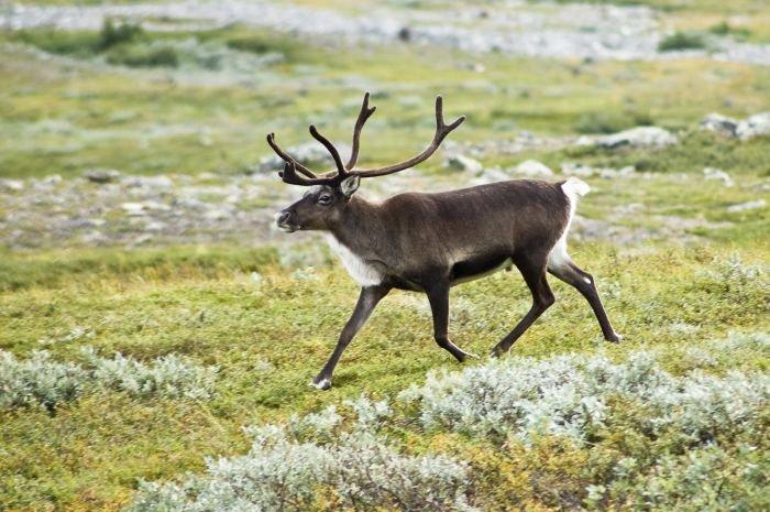 В Норвегии 323 оленя погибли из-за удара одной молнии