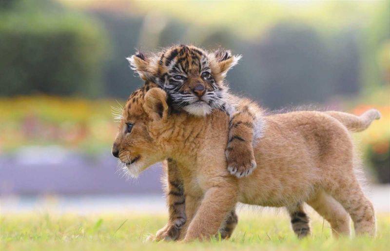 Неразлучные друзья из японского сафари-парка — тигренок и львенок