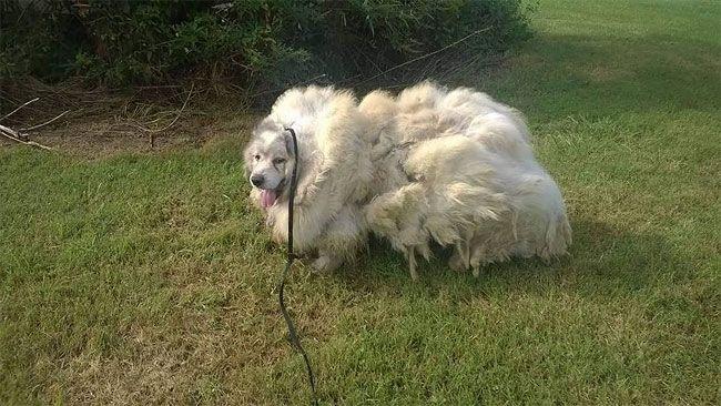 Собака полегчала на 16 кг после первой стрижки за шесть лет