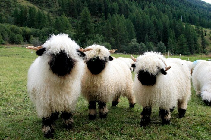 Необычные черноносые овцы