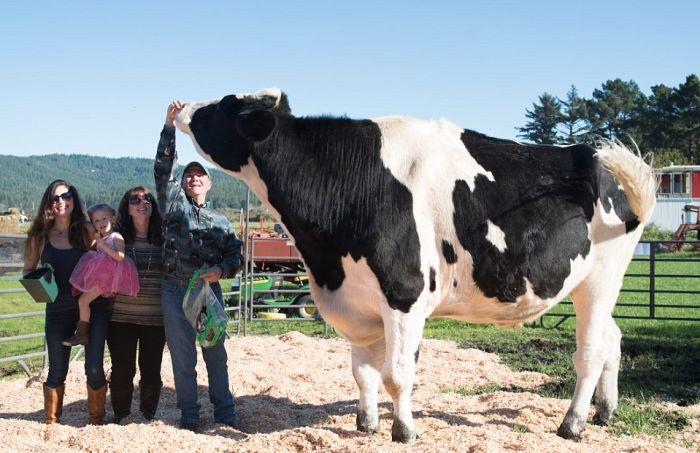 Дэнниел — самый высокий в мире бык ростом 193 см